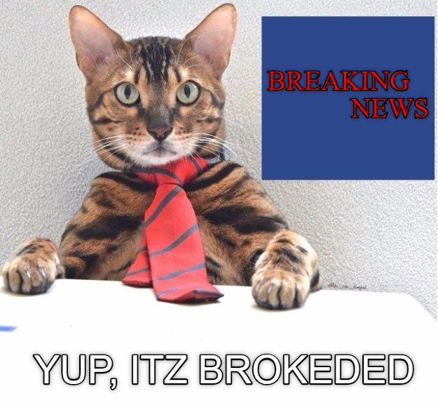 News Anchor cat
